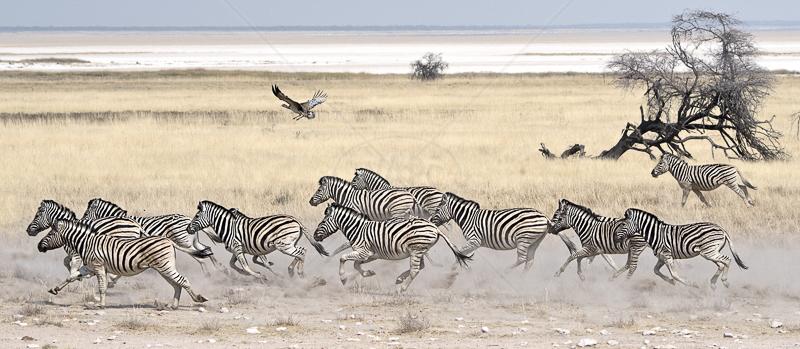 Zebra Stampede by Audrey Price - C (PRINT)
