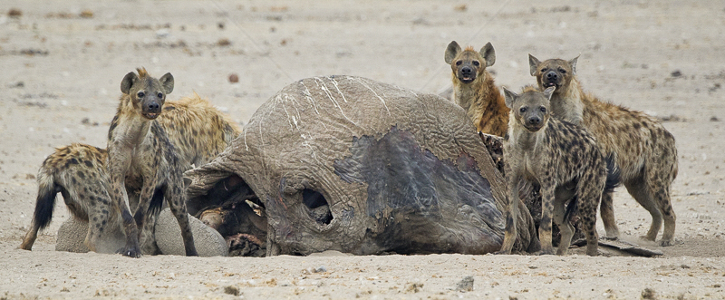 Hyena with Elephant Carcass by Russell Price - HC (PDI)