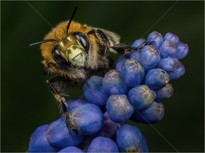 Plume-Footed Bee on Grape Hyacinth by Ed Phillips - C (PDI)