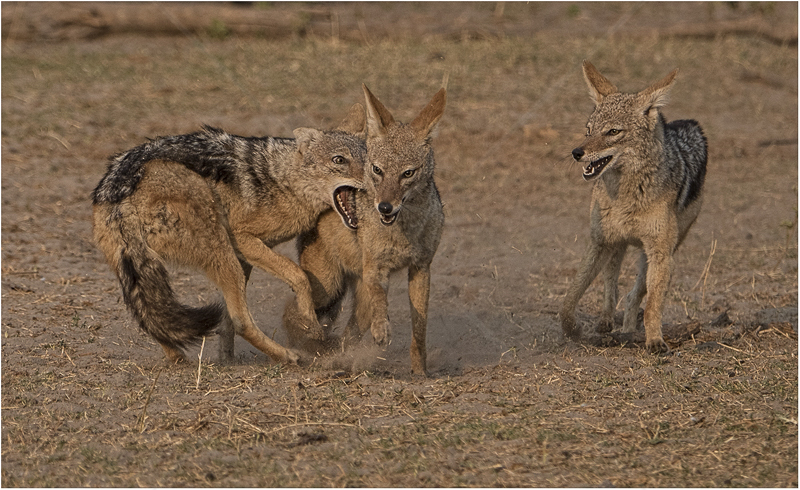 Silver Backed Jackals Skirmish by Alan Lees - 1st (PDI)