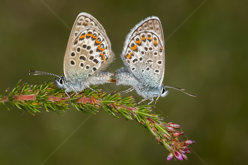 Silver Studded Blues by Norman O'Neill - 2nd (PDI)