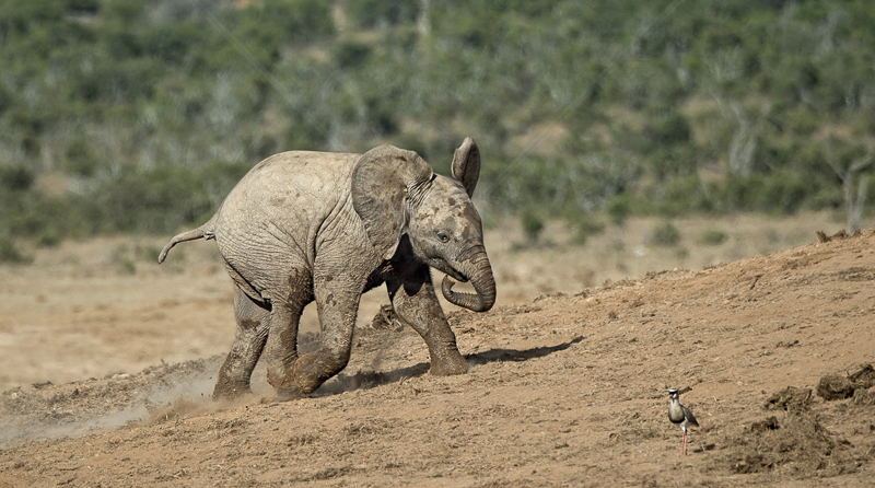 Young Elephant Chasing Bird by Audrey Price - 3rd (PDI)