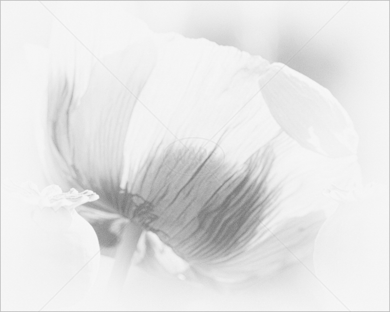 Poppy Impressions by Sharon Leighton - 1st (Int mono)