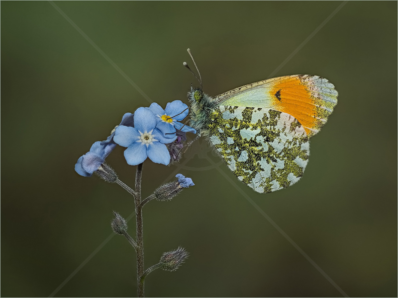 Orange-Tip on Forget-Me-Not by Ed Phillips - HC (Adv)