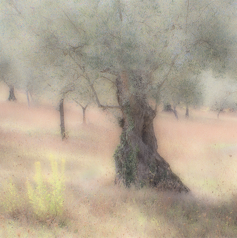 Umbrian Olive Grove by Irene Froy - 3rd (Adv col)