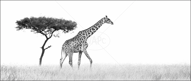Acacia and Giraffe by Audrey Price - 2nd (Adv mono)