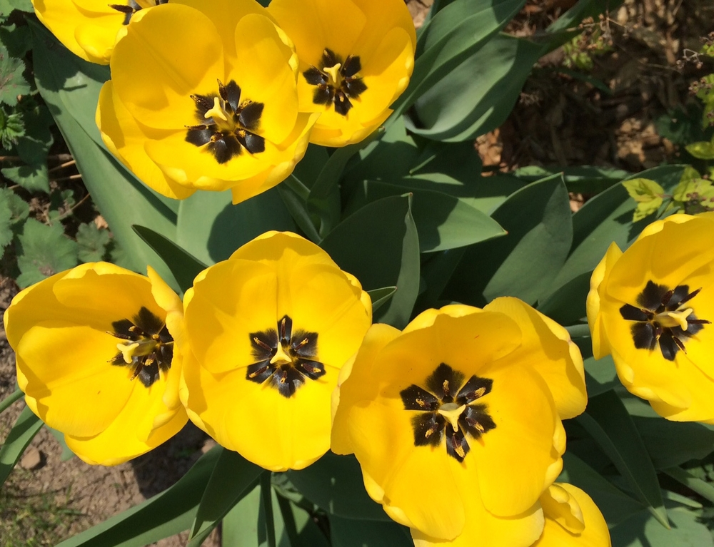 yellowtulips.jpeg