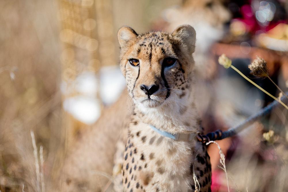 3761-cheetah-moscastudio-the-perfect-occasion-grace-ormonde-wedding-style-editorial-20160825-NOlogo.jpg