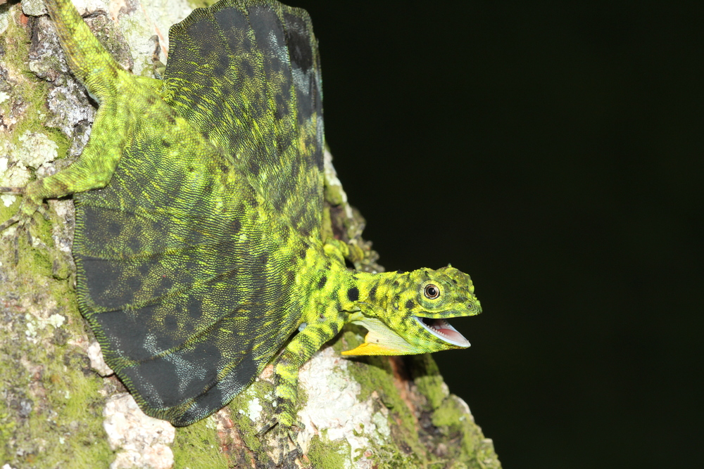 an unhappy  Draco sumatranus . They spread their extended ribs into makeshift wings to glide between trees, and away from predators.  photo credit: Jackie Childers