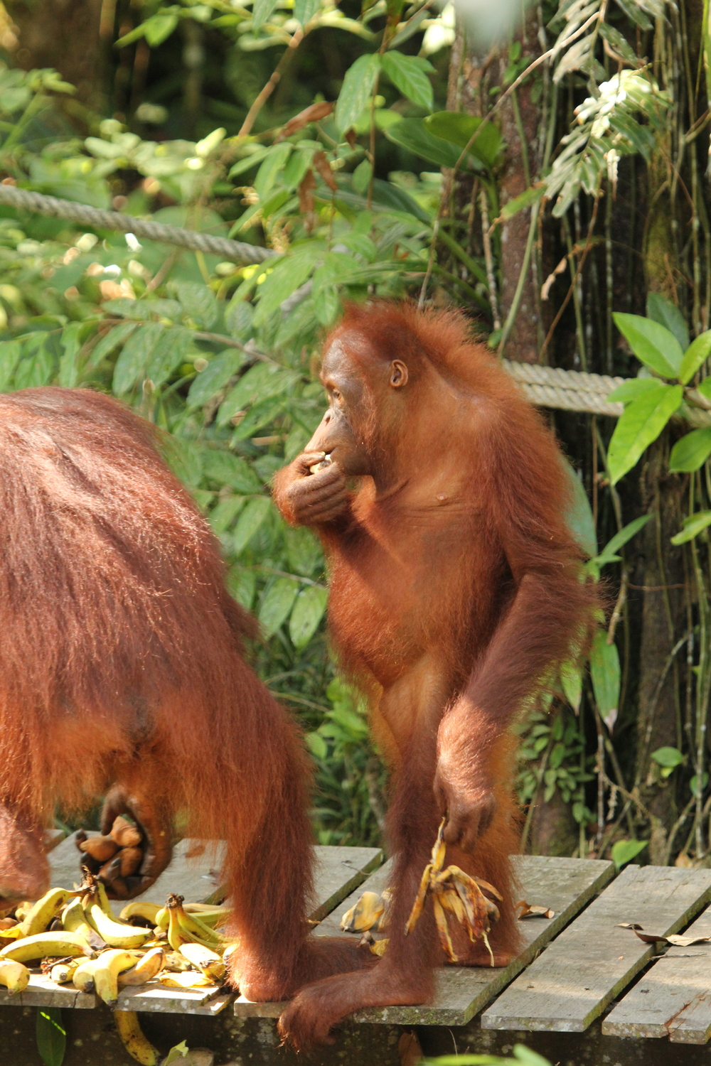 Admittedly, there are some pretty awesome mammals in Sarawak as well. Sometimes the orangutans (orang = man, utan = forest) seem a little too human-like.  photo credit: Jackie Childers