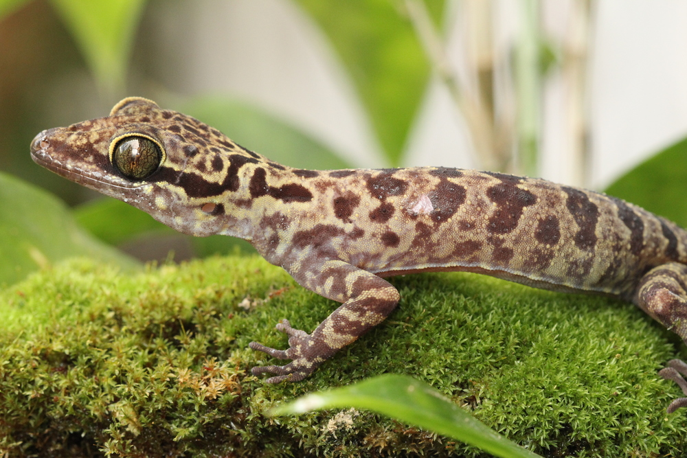 A very pretty  Cyrtodactylus  gecko. one of the reasons I went to Sarawak specifically.  photo credit: Jackie Childers