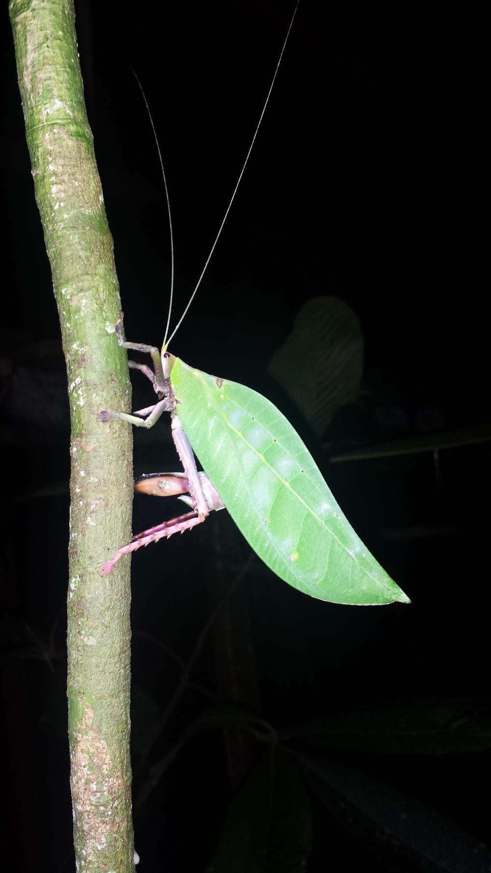 an enormous katydid.