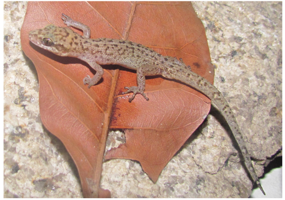 A New Geckoin Vietnam - 2016. Ziegler, T., Botov, A., Nguyen, T.T., Bauer, A.M., Brennan, I.G., Ngo, H.T., Nguyen, T.Q.First molecular verification of Dixonius vietnamensis Das, 2004 (Squamata: Gekkonidae) with the description of a new species from Vinh Cuu Nature Reserve, Dong Nai Province, Vietnam.Zootaxa 4136 (3):553-566. Link or Download.