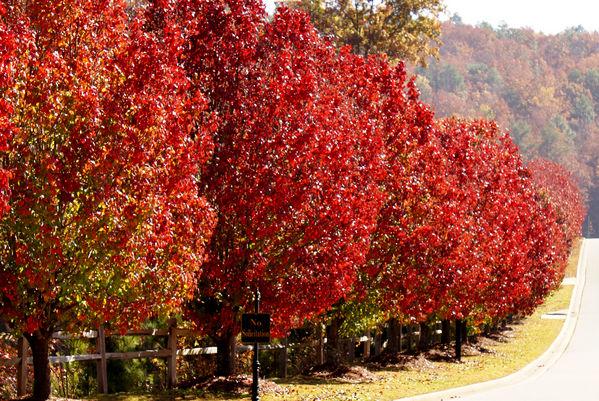 normal_red trees 2.JPG