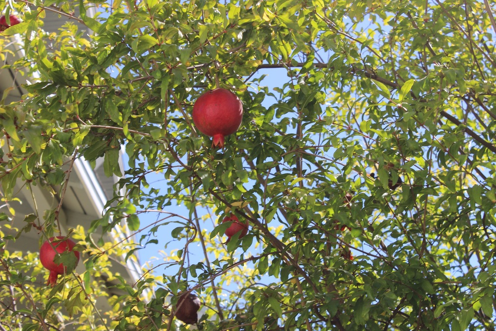 Never seen a pomegranate tree before