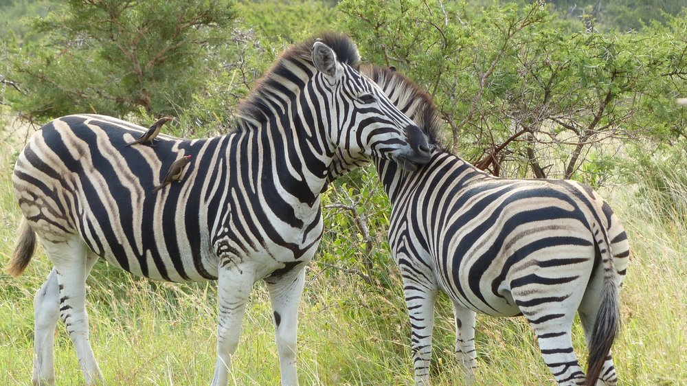 zebra-south-africa-safari-adventure-travel-animals.jpg