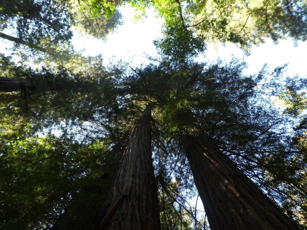 redwood-forest-california.jpg
