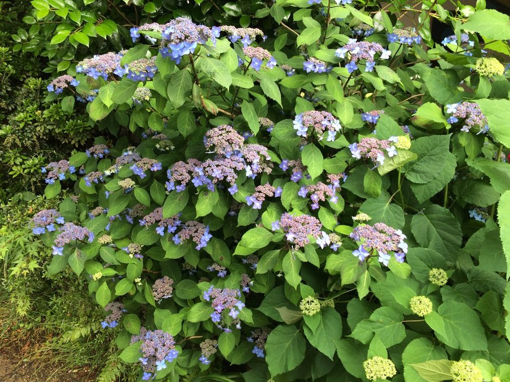 Ajisai, or hydrangea, growing at Sanzen-in