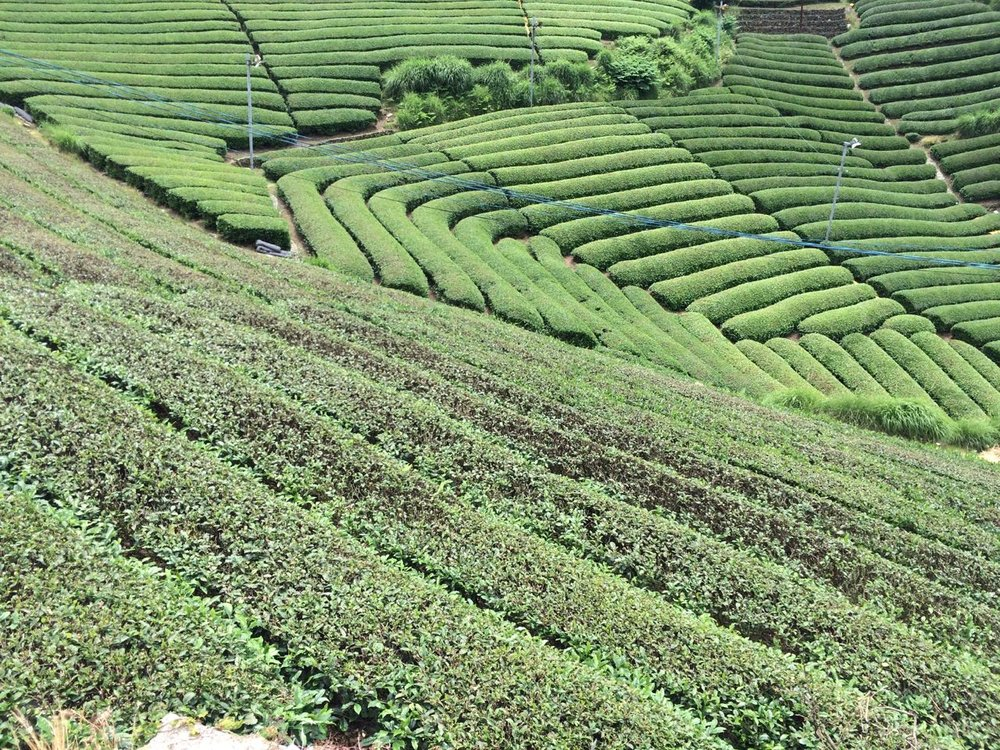 Tea fields as far as the eye can see