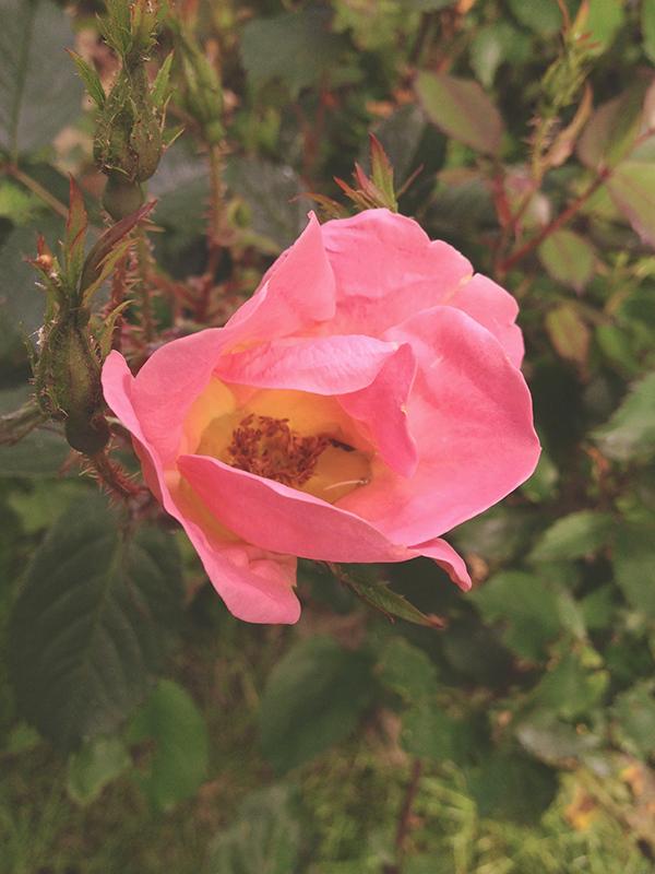 Rain-filled rose blossom.
