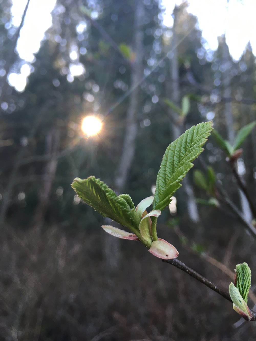 Spring growth, Red Alder (Sara Galactica)