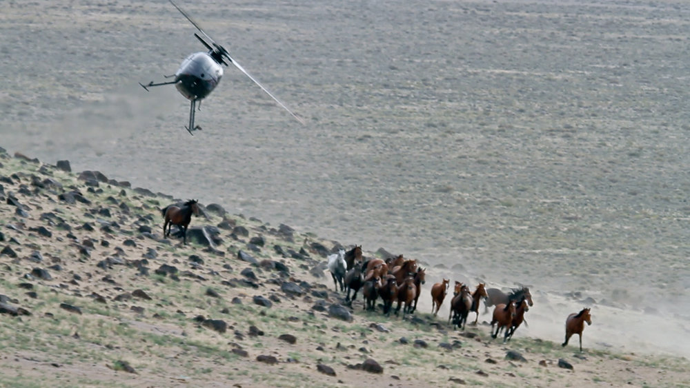 Cattle vs Wild Horses