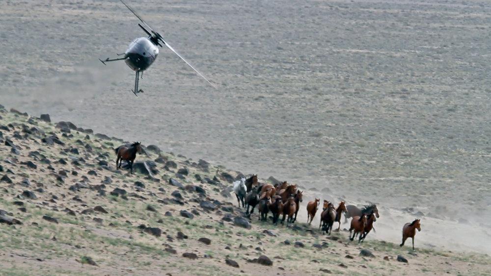 Cattle vs Wild Horses