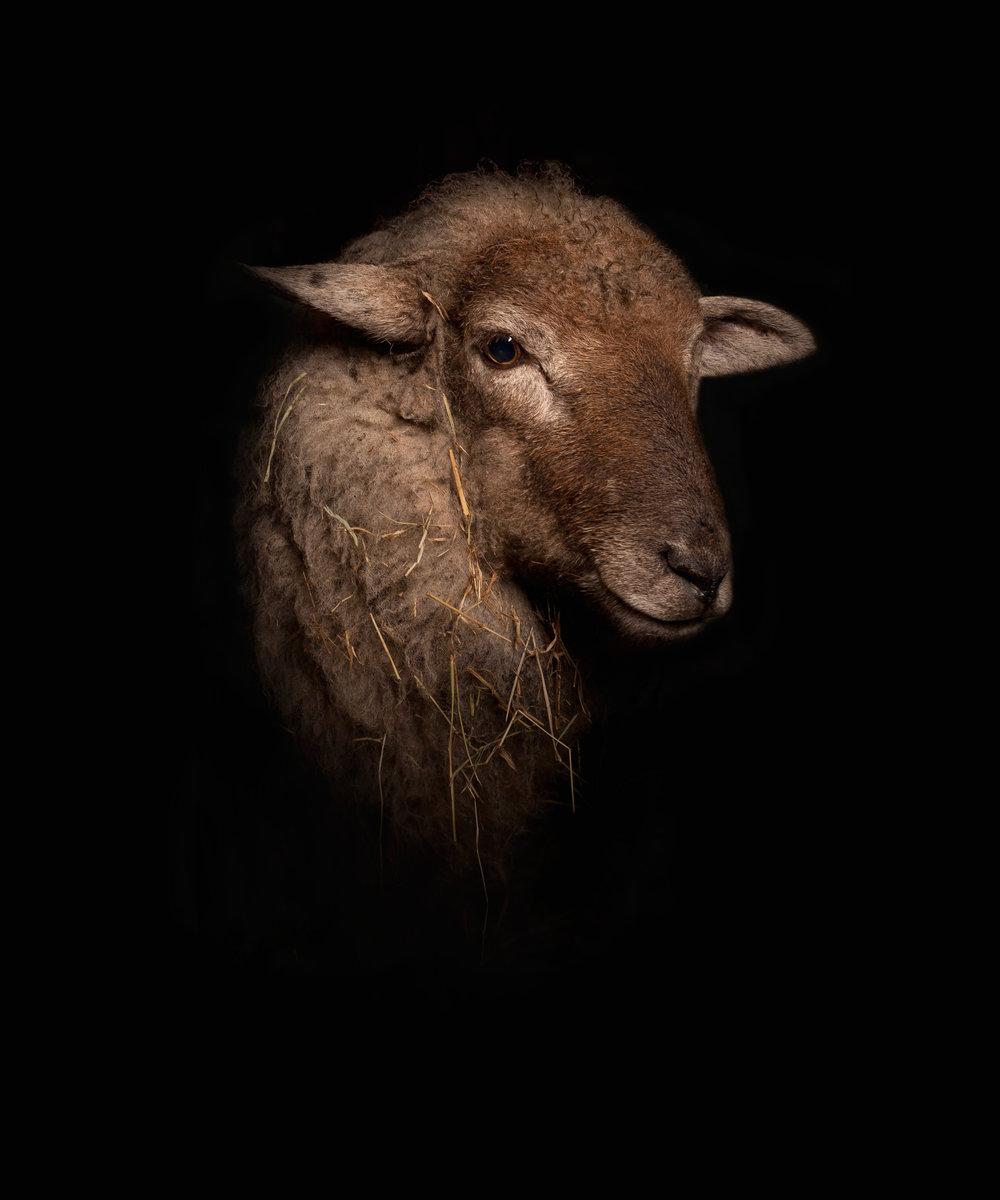Lamb_3.jpg