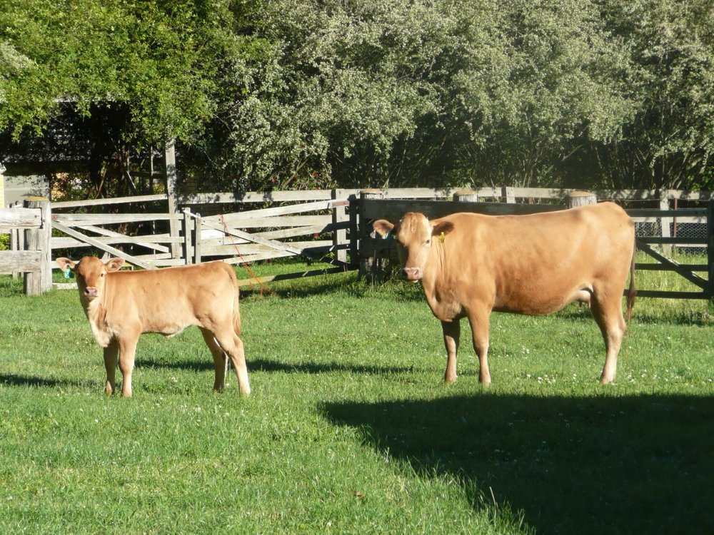 The Wright Wagyu  Suki D94 calf Academy Red Wagyu G7 ( Daughter of A13 LOGO)
