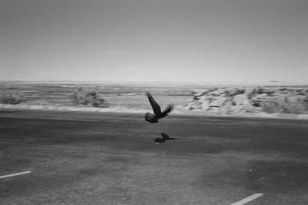 Crow flies on the parking lot of the Petrified Forest National Park on Arizona.