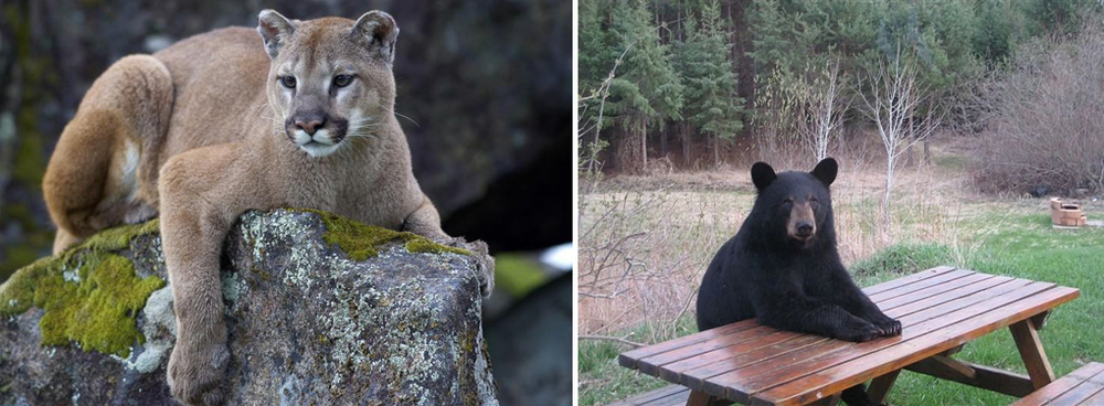 Left: Mountain lion, Right: A bear patiently waiting for some dinner when I approach camp