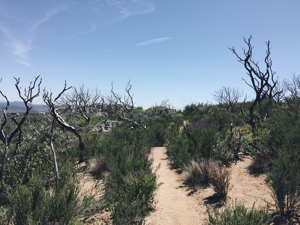 The trail winds up on top of this hill filled with dried up trees and desert flowers.