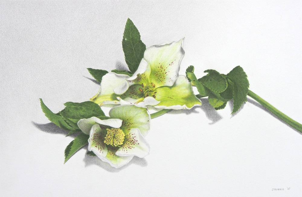 Judy Morris, Gift, Coloured pencil and graphite on paper