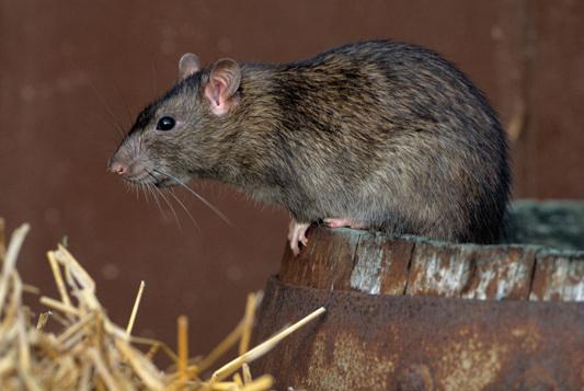 se debarasser des rats