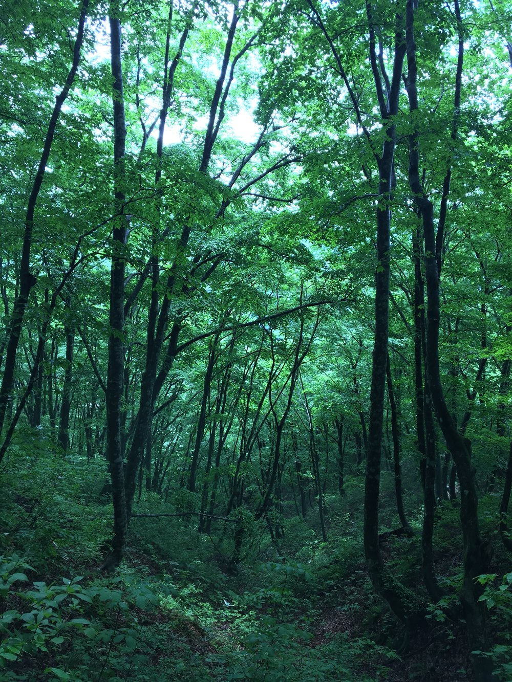 鳴子のシンボル花渕山。ブナの自然林が見事です。