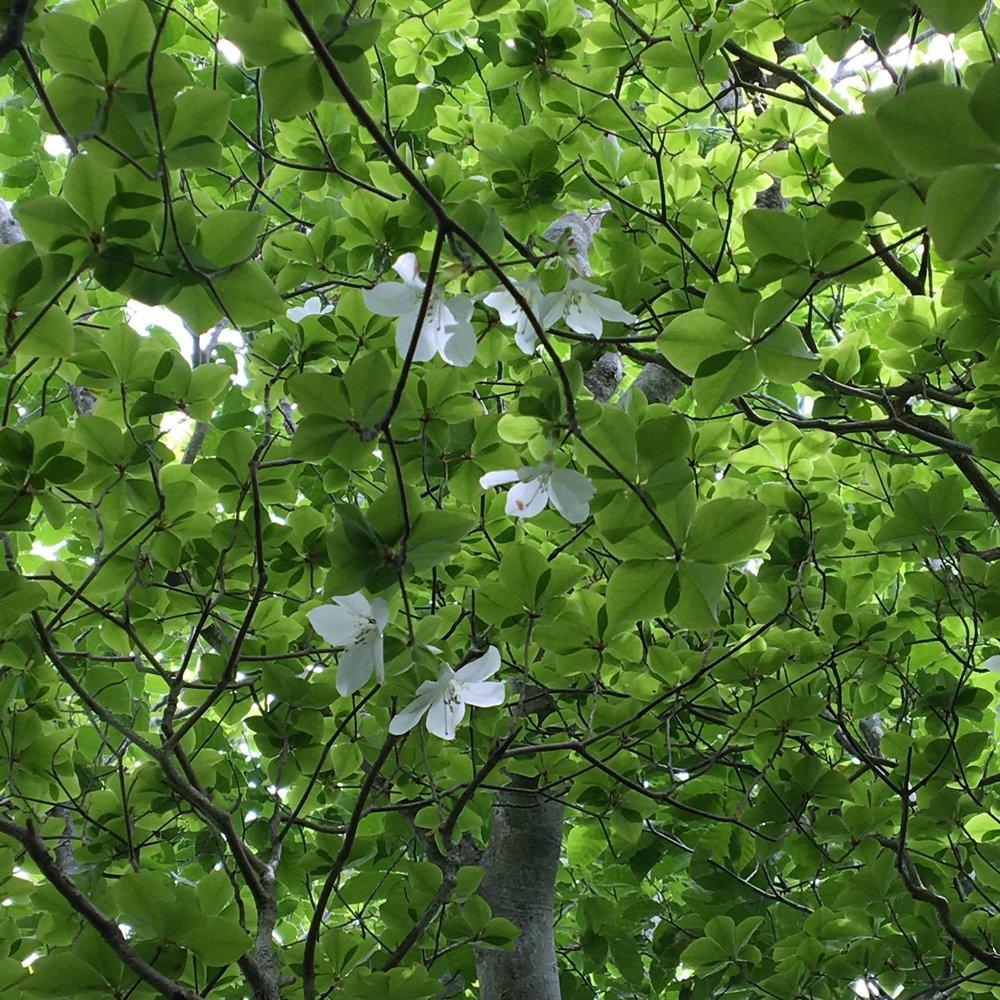 希少な山ツツジ(シロヤシオ)の群生地があります、開花間もない5/27時点。