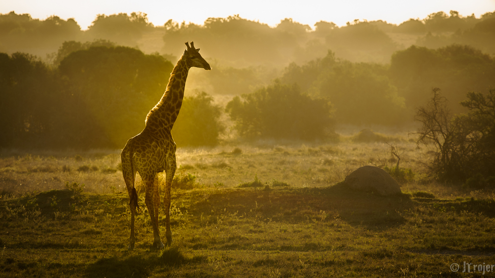 Sunset in Scotia - Giraffe keeping an eye on the Lions...