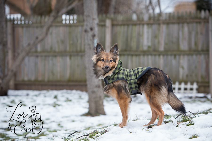 sheltie mix wearing a coat in the snow