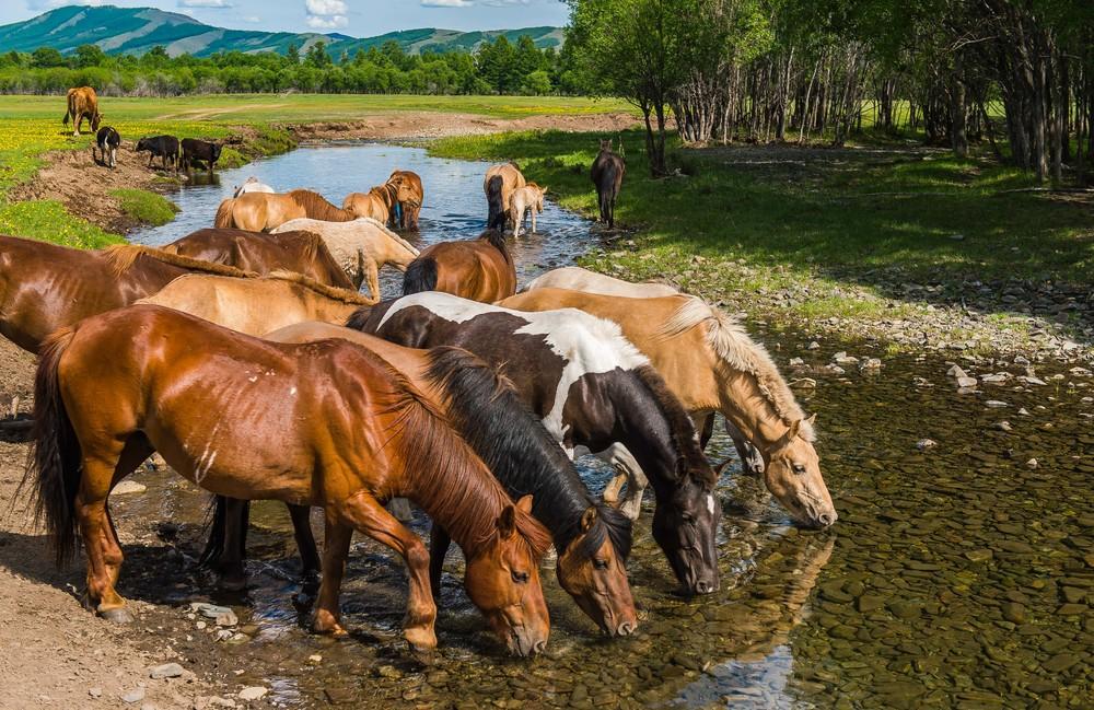 Монгольские кони.jpg