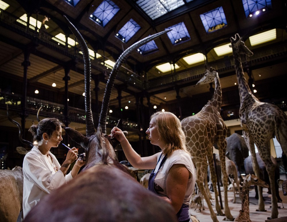 STILL LIVES (AT MUSEUM) © Marlène Awaad / IP3 -  Behind the scenes at the Muséum National d'Histoire Naturelle of Paris. On the occasion of the 20th anniversary of the Great Gallery of Evolution of the Muséum National d'Histoire Naturelle of Paris, some of the animals were restored by taxidermists of the Muséum, Hélène and Justine. This restoration work took 3 years.
