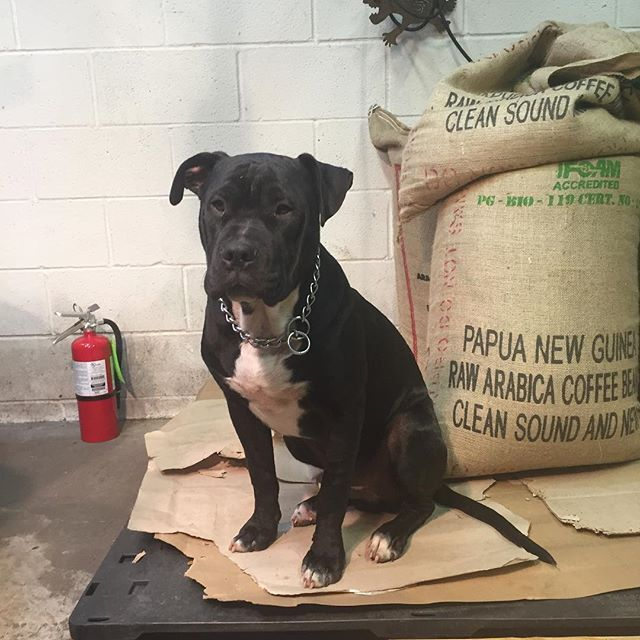 Cooper is growing up #coffeedogs #local coffee roasters #black dog #blackcoffee #espresso