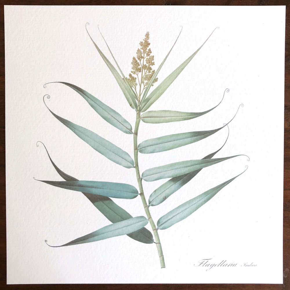 Flagellaria.jpg