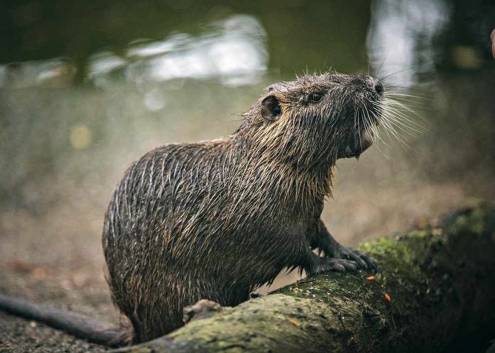 Photo 5 ROUS5_Nutria_also_known_as_a_swamp_rat_is_a_semi-aquatic_rodent_native_to_South_America._After_being_introduced_to_Louisiana_its_destructive_feeding_behaviors_have_made_this_invasive_species_a_scourge_of_the_swamp.jpg