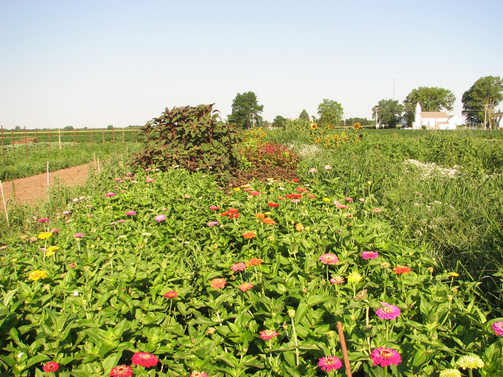 field of zinnias 2.JPG