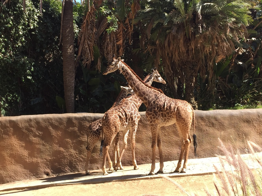 The giraffes' stole our hearts today. This one of many baby animals to see today.
