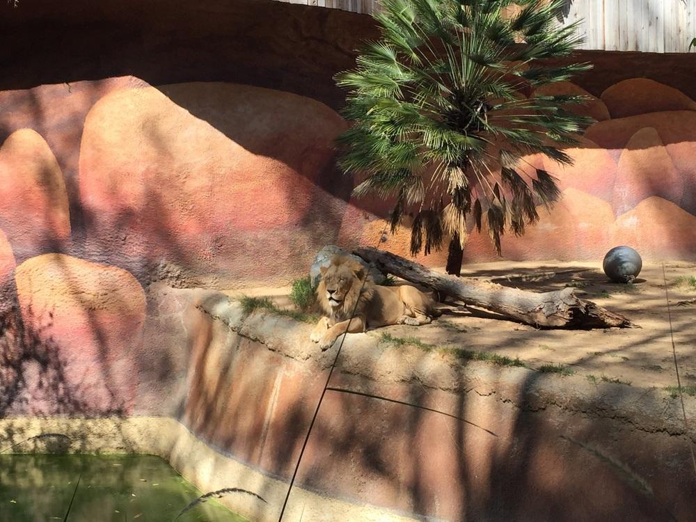 LION 😻