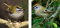 firecrest_and_gold_crest