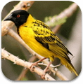 african_birds_sounds_icon