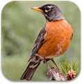 north_american_birds_sounds_icon