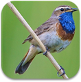 uk_birds_sounds_icon